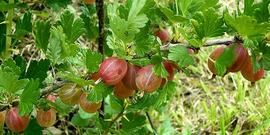 Gooseberries/ Ribes uva-crispa 