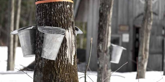 Tapping maple usda850x425