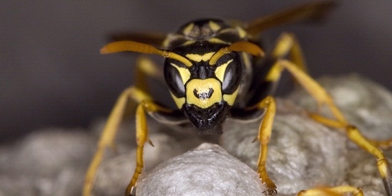 Paper wasp   david cappaert michigan state university bugwood org