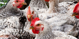 Chickens usda