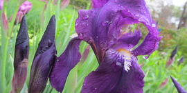 Iris at beatrix farrand garden   photo by heledy pagan