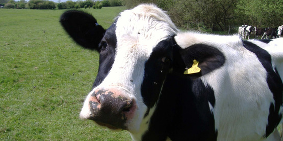 Cow young copy