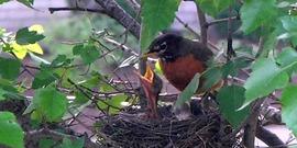 Robin nest850x425