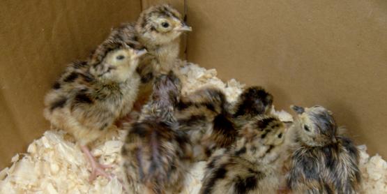 Phesant chicks