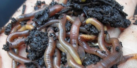 Worms from coffee compost pile
