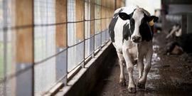 Cornell dairy barn