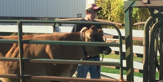 Asa cow