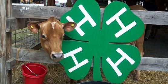 Cow   4 h clover