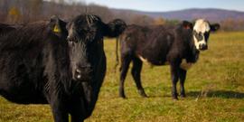 Beef cattle polyface farm