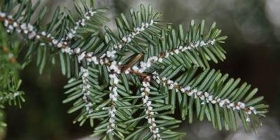 Hemlock woolly adelgid2