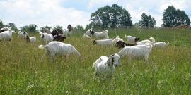 Meat goats bww