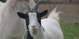 Goats 2160037 1920