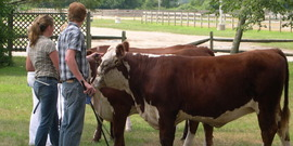 Teens with cows at the Suffolk County Farm and Education Center