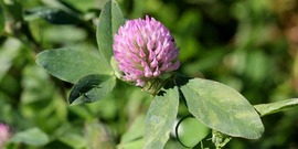 Red clover850x425