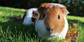Guinea pig 1100448 1920
