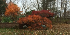 Japanese  maples in october