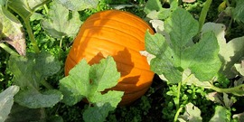 Ripe pumpkin growing on the vine