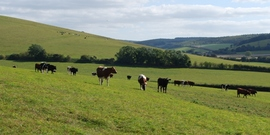 Beef cattle  levin down   geograph.org.uk   1498569