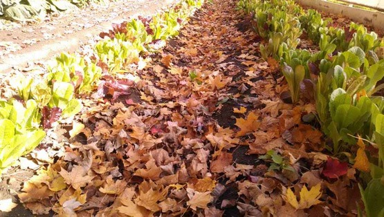 rows of lettuce with fall leaves; from Facebook