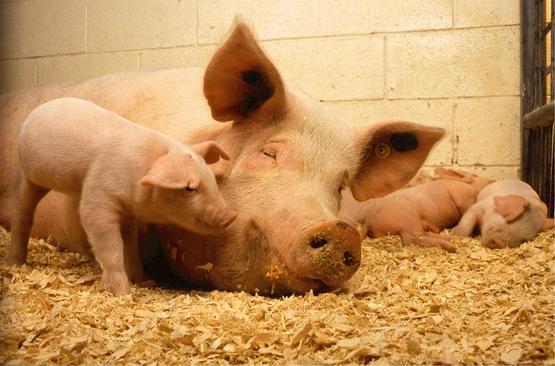 4-H Hog Project