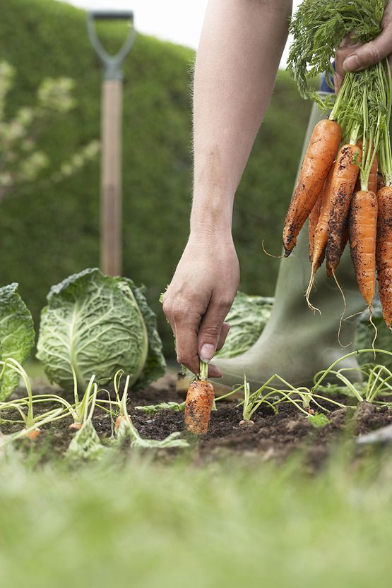 harvesting carrots and cabbage