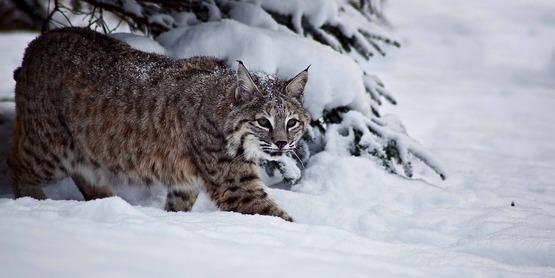 Bobcat / Lynx rufus