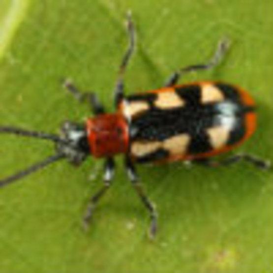 Asparagus Beetle