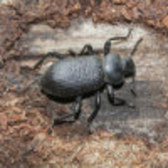 beetle bark