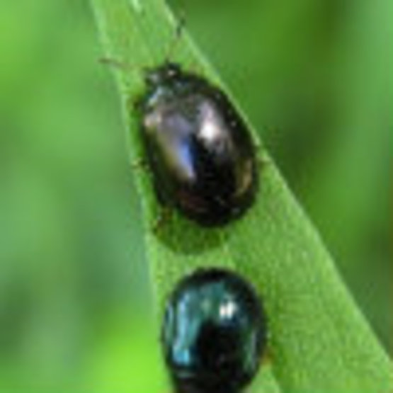 mported Willow Leaf Beetle