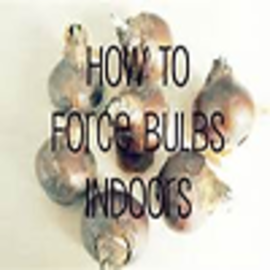A Factsheet on Forcing Bulbs for Indoor Bloom