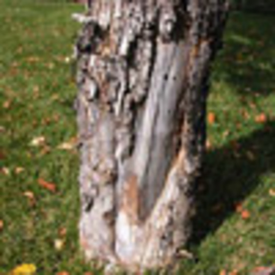 Bark Splitting on Trees