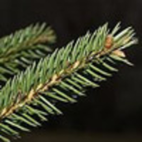 Growing Evergreen Trees from Seed
