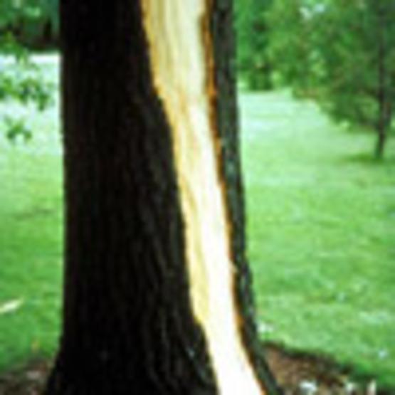 Lightning Injury to Trees
