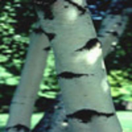 Gray Birch, Clump Birch