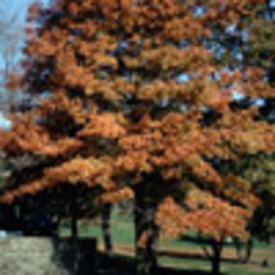 Pin Oak; Swamp Oak