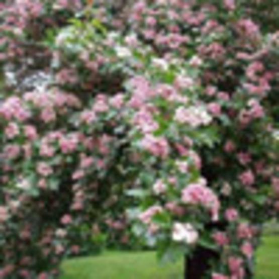 Washington Hawthorn
