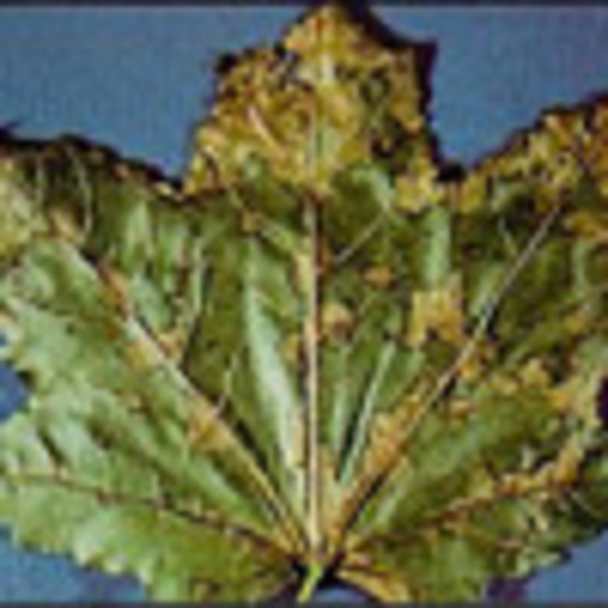 Anthracnose Leaf Blight of Shade Trees