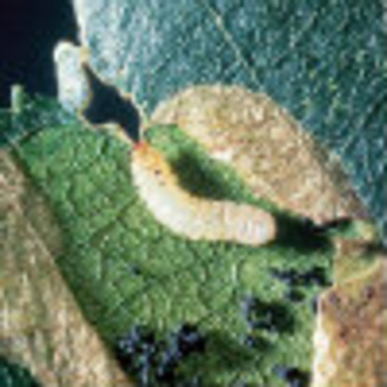 Birch Leaf Miner Sawfly