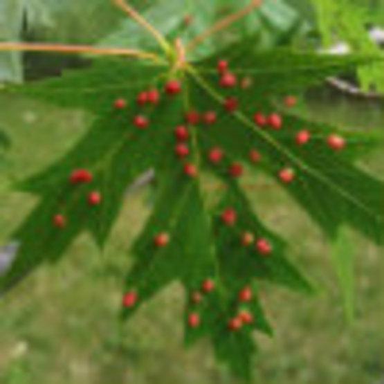 Maple Gall Mites