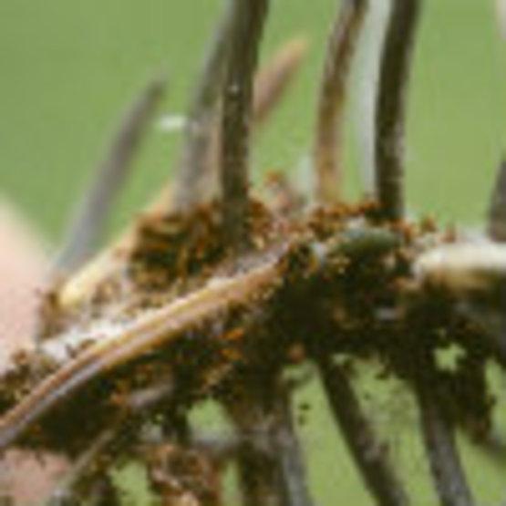 Spruce Needleminer