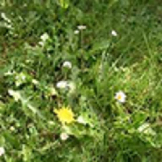 Managing Lawn Weeds