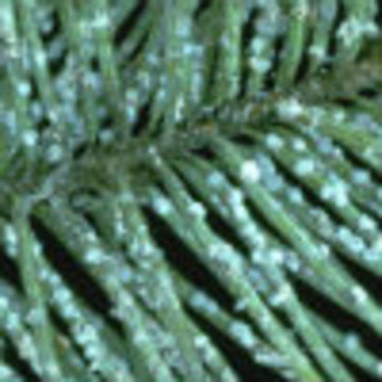 Cooley Spruce Gall Adelgid