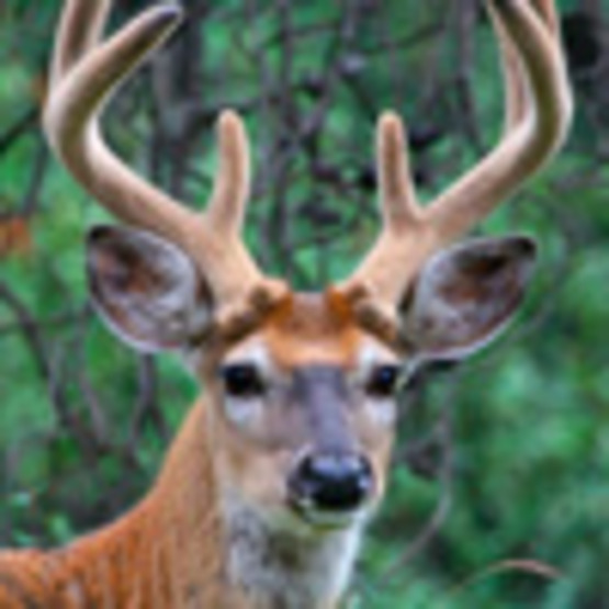 Deer (White-Tailed Deer)
