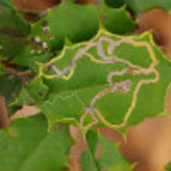 Holly Leafminer
