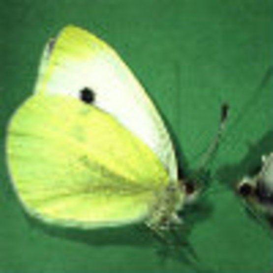 Imported Cabbage Worm Butterfly