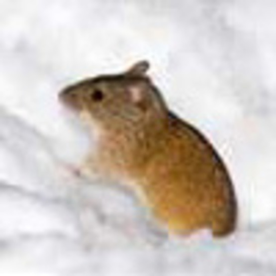 Mice (house mouse)