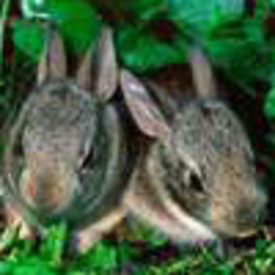 Rabbits (Cottontail)