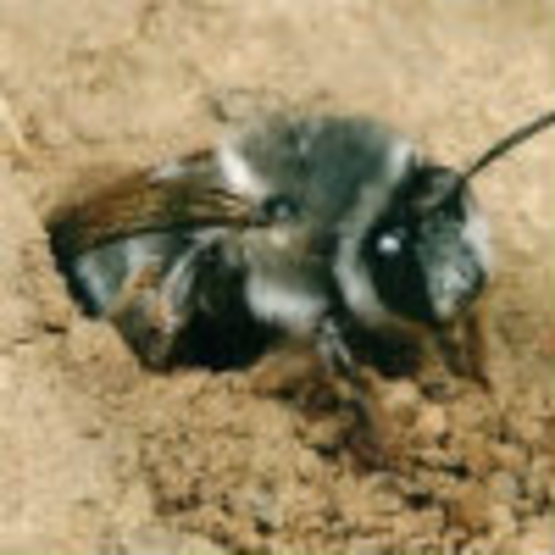 Ground Nesting Bees