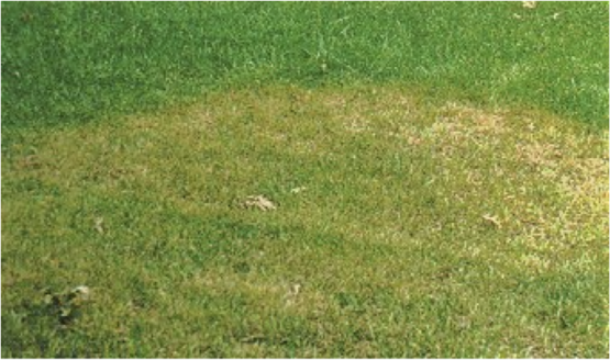 Brown Patches in the Lawn
