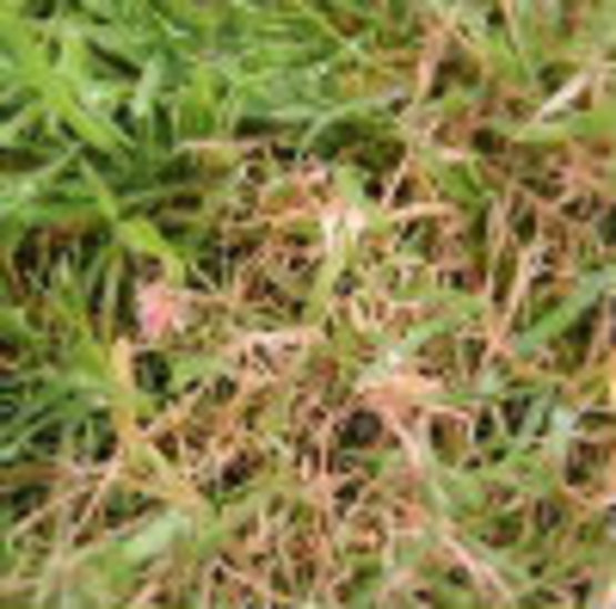Common Lawn Diseases